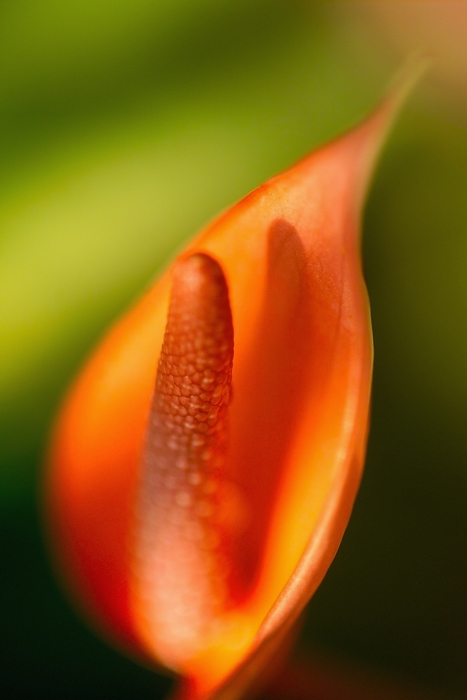 Orange Flower Spadex and Spathe