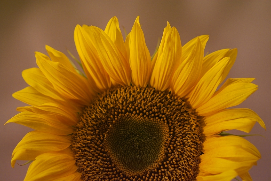 Sunflower Yellow Petals